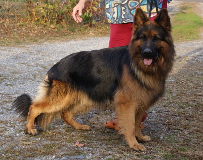 Crooked River German Shepherds - Quartz